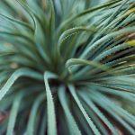 Das Bild zeigt eine Aloe-Pflanze in Nahaufnahme.