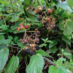 Das Bild zeigt einen Brombeerstrauch mit reifen Beeren.