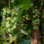 Das Bild zeigt eine Weintraube.